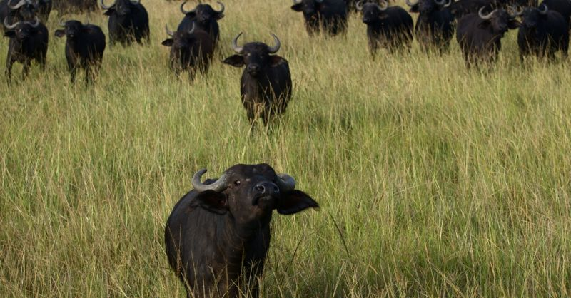 Buffalo herd reacts to visitors