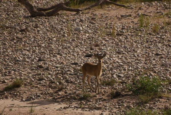 Reedbuck on the banks of Sand River, Masai Mara