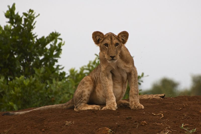 Young lion after a big meal, Meru NP