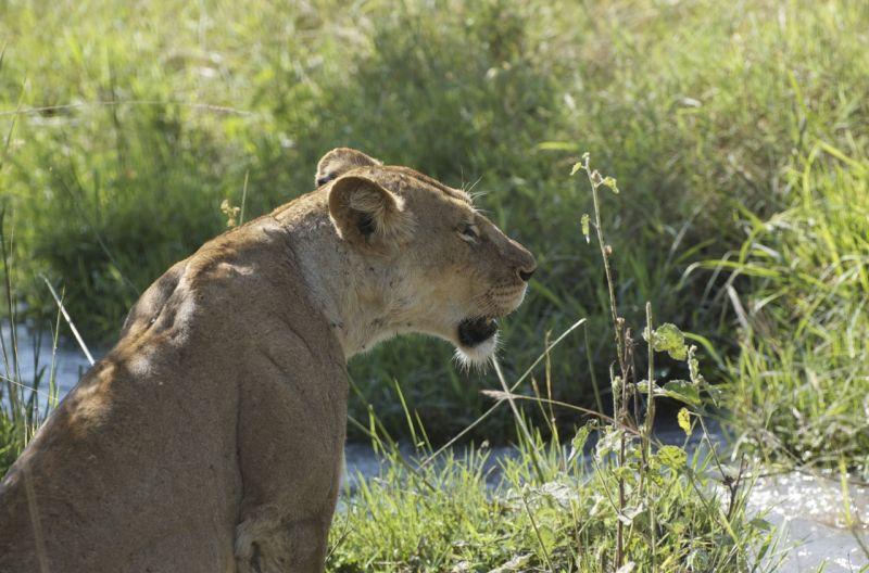 Lioness in Meru NP, Kenya