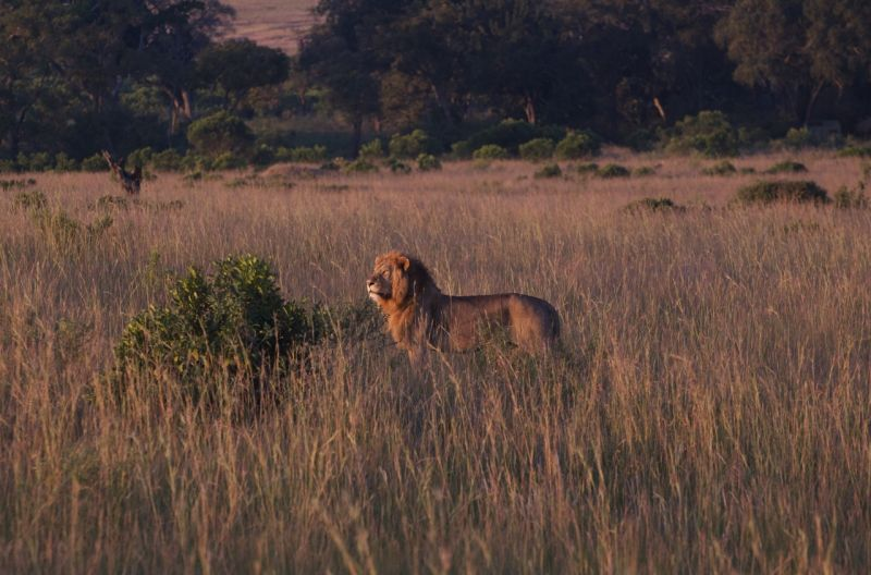 Male lion, morning, Masai Mara, Kenya