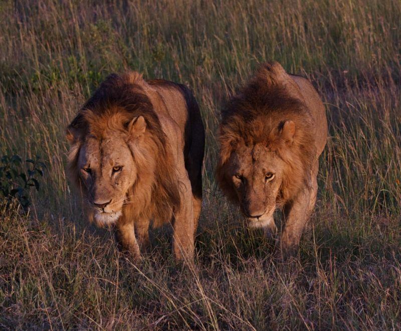 Two male lions, Masai Mara, Kenya