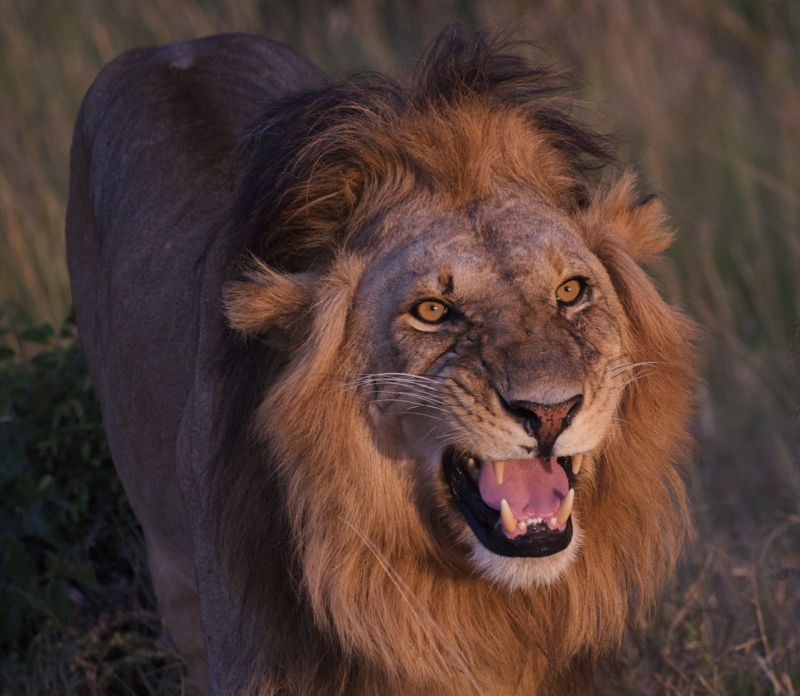 Male lion greeting nearby lioness, Masai Mara