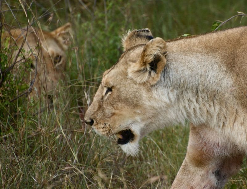 Two lionesses near a recent kill of warthog, Kenya