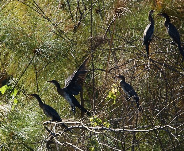 Lake Naivasha cormorants