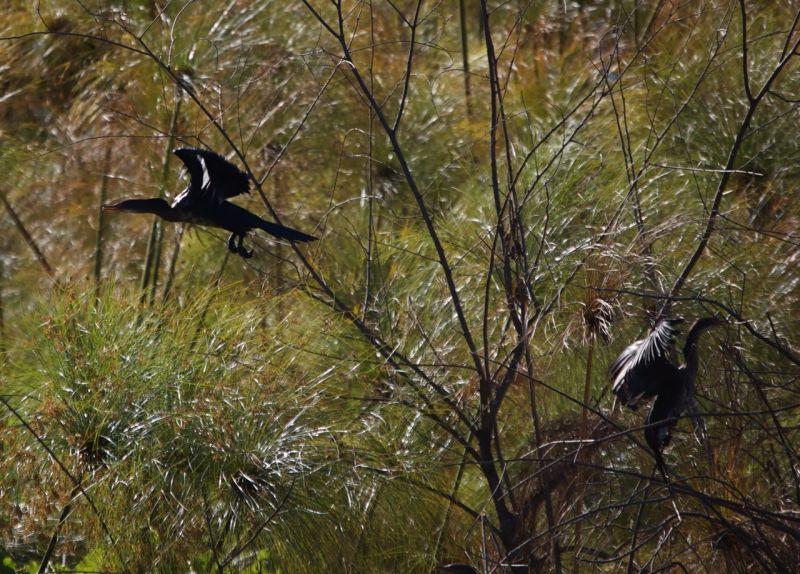Two cormorants, Lake Naivasha, Kenya