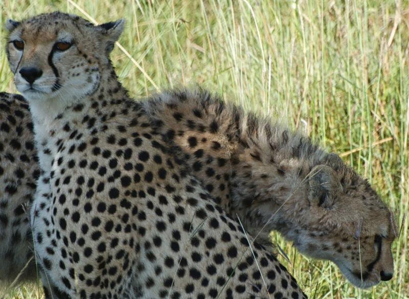 Two cheetahs, Masai Mara, Kenya