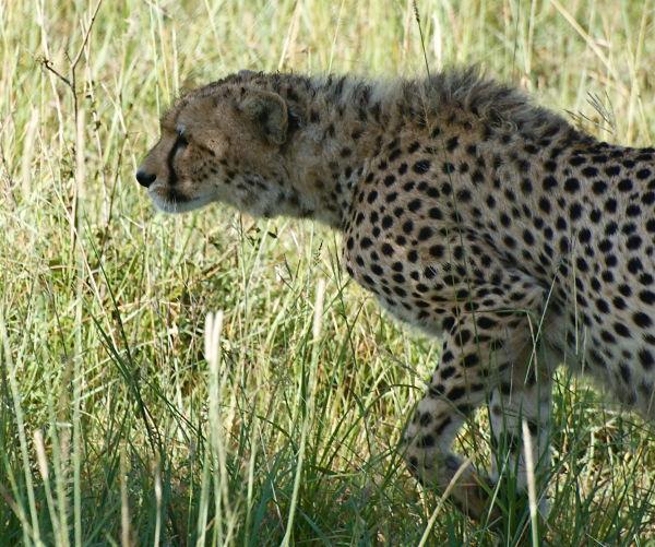 Young cheetah, Masai Mara, Kenya