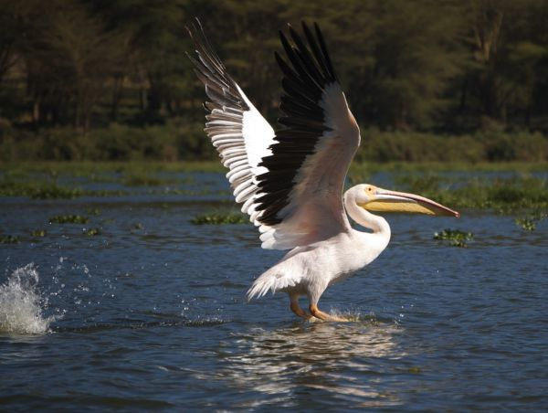 Great White Pelican taking off from Lake Naivasha