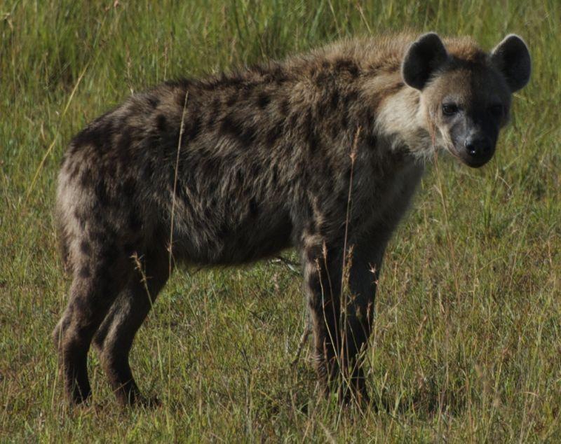 Hyena, Masai Mara, Kenya