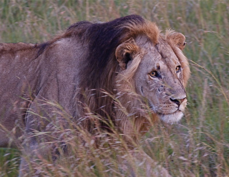 Male lion shows scars, Kenya