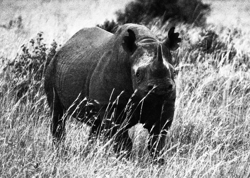 Black rhino with ears clipped for research