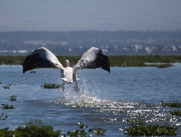 Pelican taking off from Lake Naivasha, Kenya