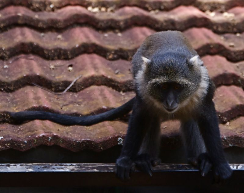 Monkey preparing to leap from roof