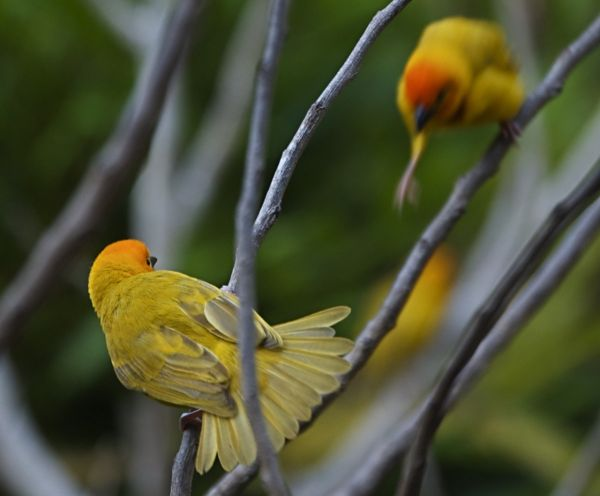 Weaver birds squabbling