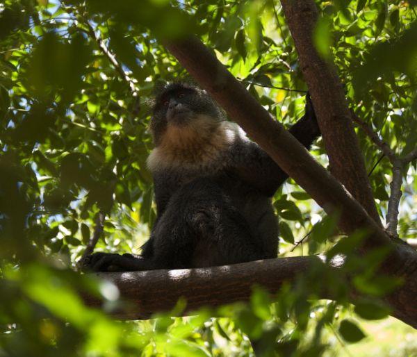 Sykes monkey, Nairobi, Kenya