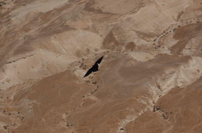Crow in flight, seen from above, Masada