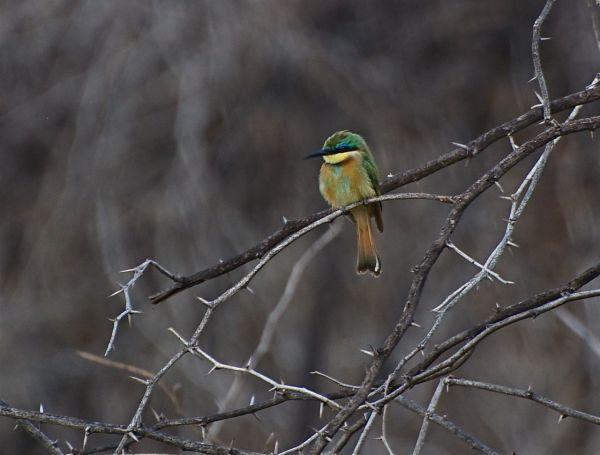Little Bee-Eater, Baringo, Kenya