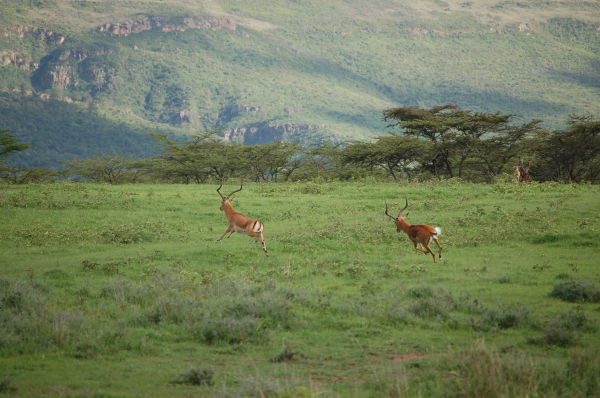 Bachelor impalas, Kigio Conservancy, Kenya