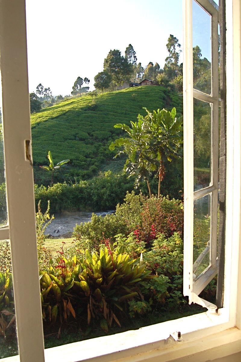 Tea farm, Aberdares, Kenya