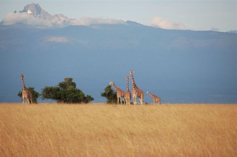 Giraffes at Sangare Ranch near Mt. Kenya