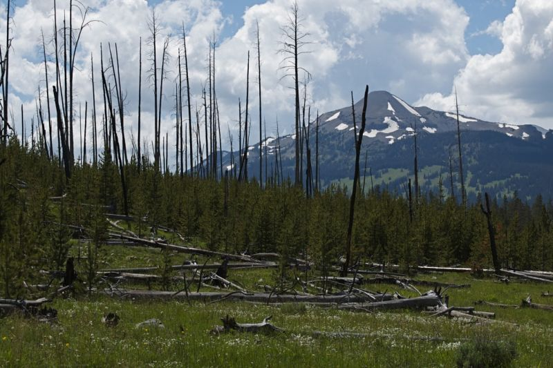 Standing dead trees from 1988 fire, Yellowstone