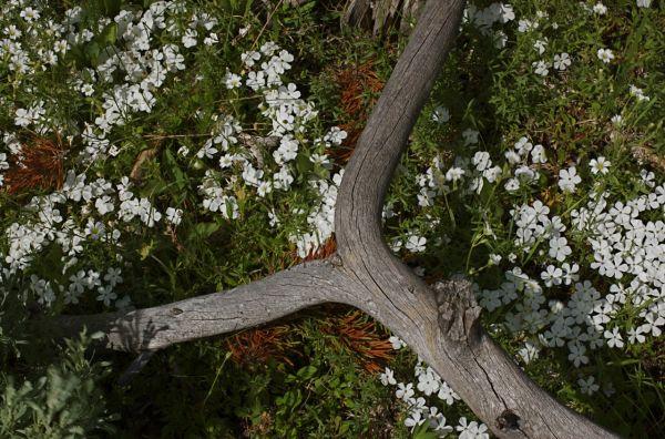 Deadwood in an Alpine meadown, Yellowstone NP