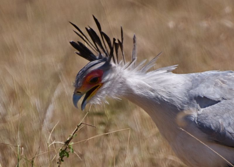 Secretary Bird huntng