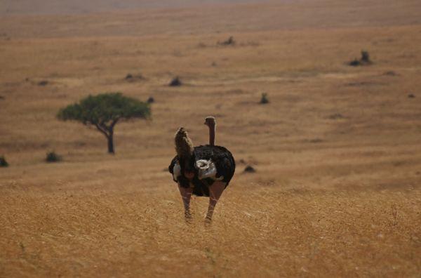 Ostrich regarding the landscape, Masai Mara