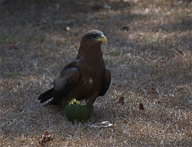 Kite eating an avocado