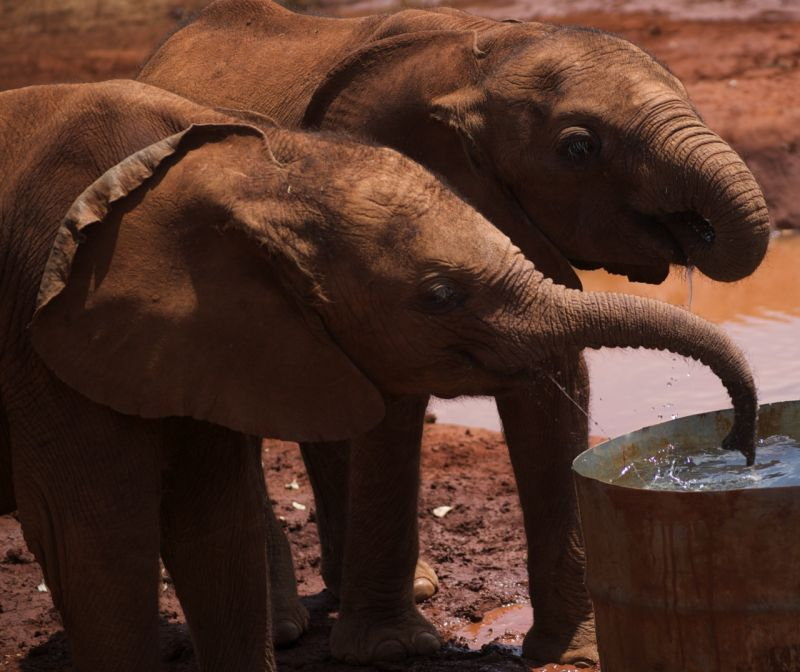 Thirsty young orphan elephants at Sheldrick Trust