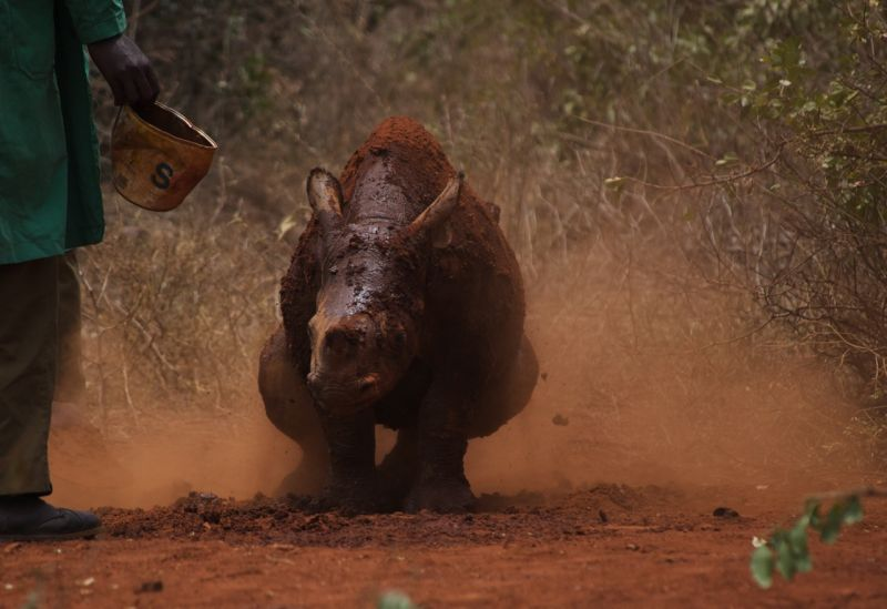 Orphan black rhino baby having a dust & mud bath