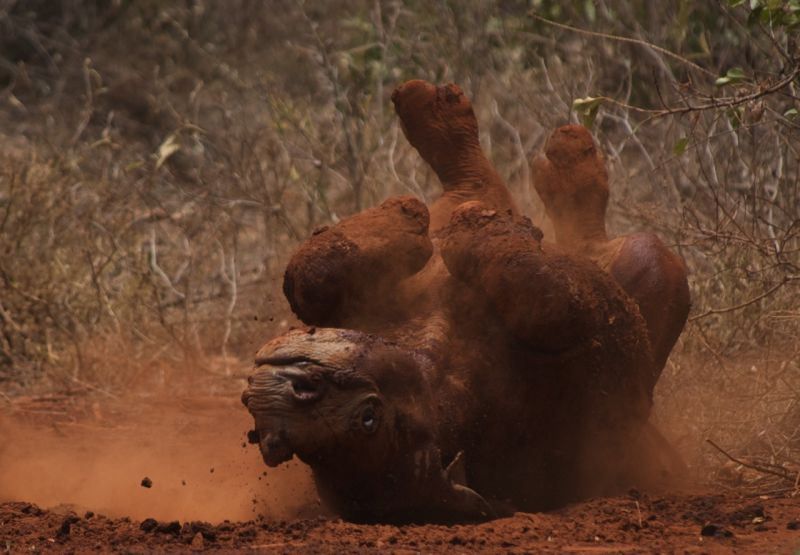Rhino baby rolling after a dust bath, Nairobi