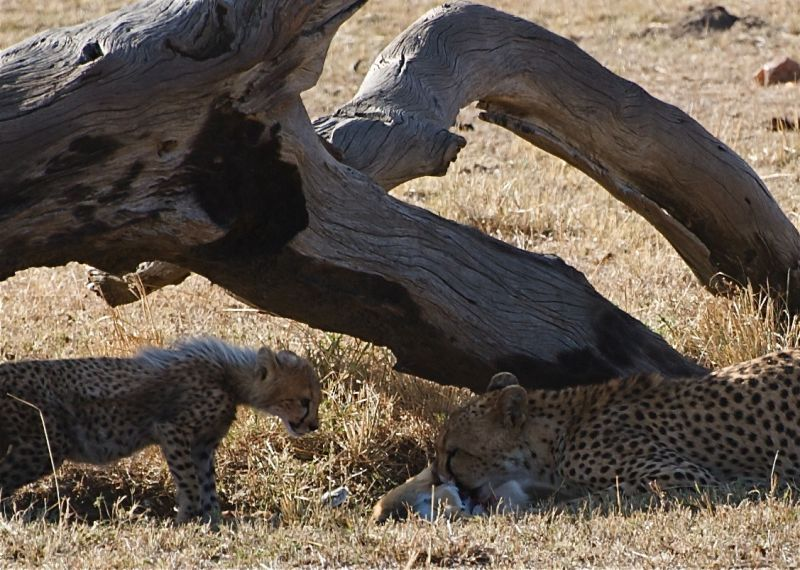 Cheetah mother and cub with a meal of gazelle