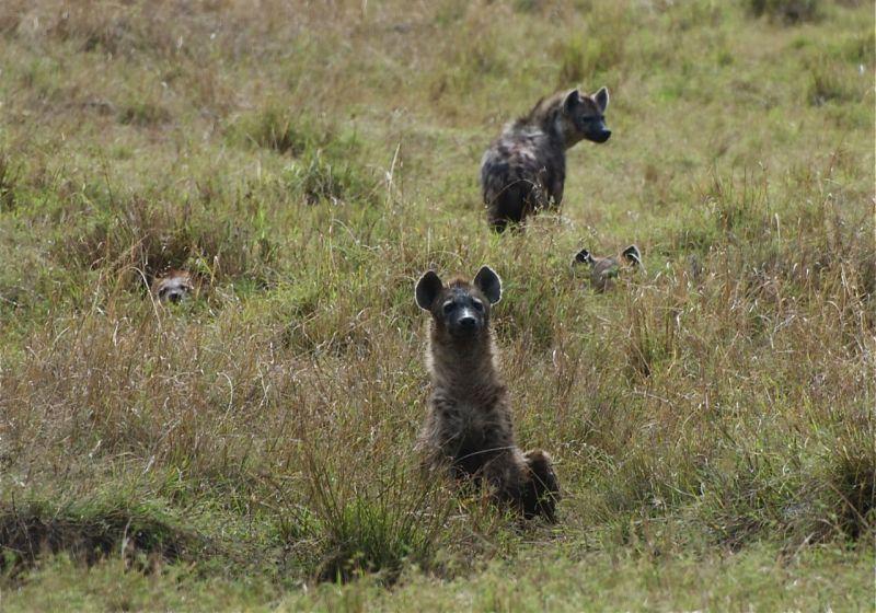 Hyenas resting in the grass, Masai Mara, Kenya