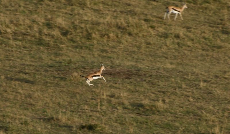 Impala leaping, seen from the air