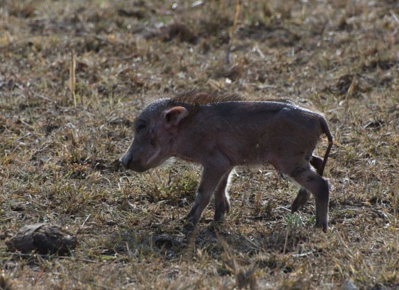 Baby warthog, Masai Mara, Kenya