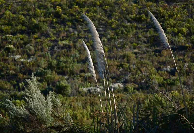 Reeds in the Overburg, South Africa