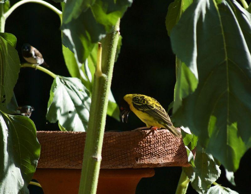 Weaver bird eating a sunflower seed, Nairobi