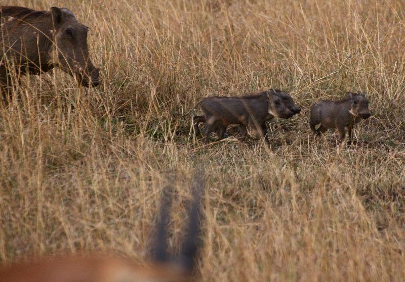 Masai Mara warthog family, Kenya