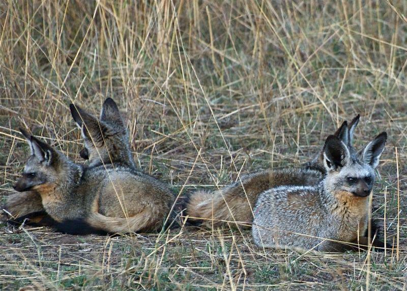 Bat-Eared Fox family on guard, Masai Mara, Kenya