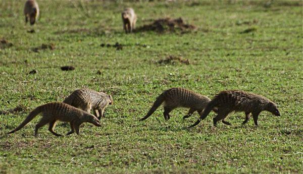 Troupe of banded mongoose, Masai Mara, Kenya