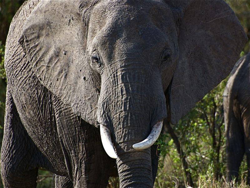Female elephant, Masai Mara, Kenya