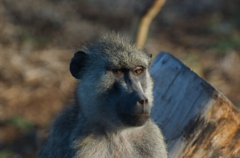 Female baboon, Amboseli NP, Kenya