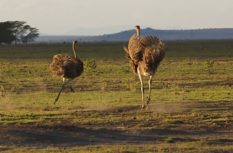 Female ostriches running, Amboseli NP, Kenya