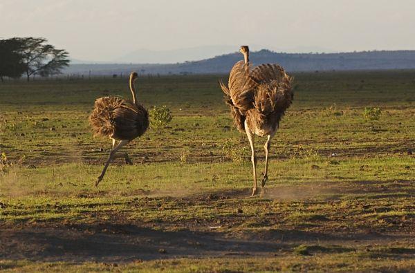Female ostriches running, Amboseli NP, Kenya