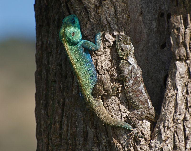 Pair of Agama lizards, Masai Mara, Kenya