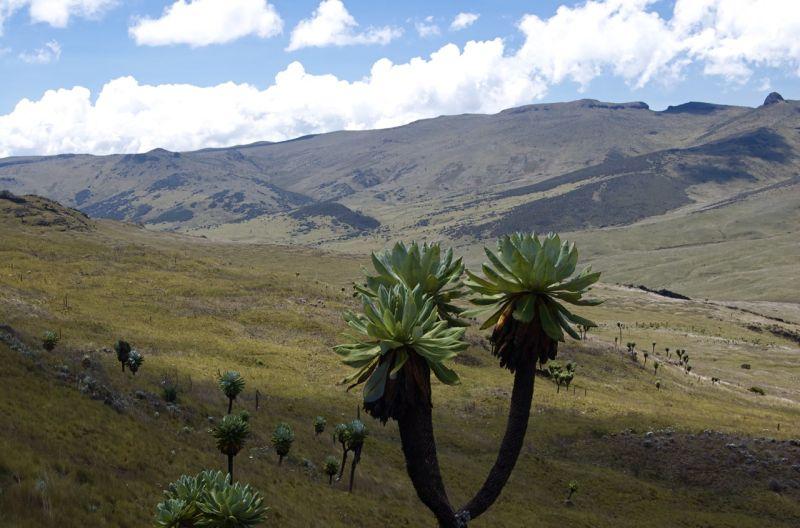 Giant lobelia, Aberdares, Kenya