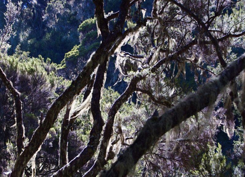 Moss-covered branch, Aberdares, Kenya