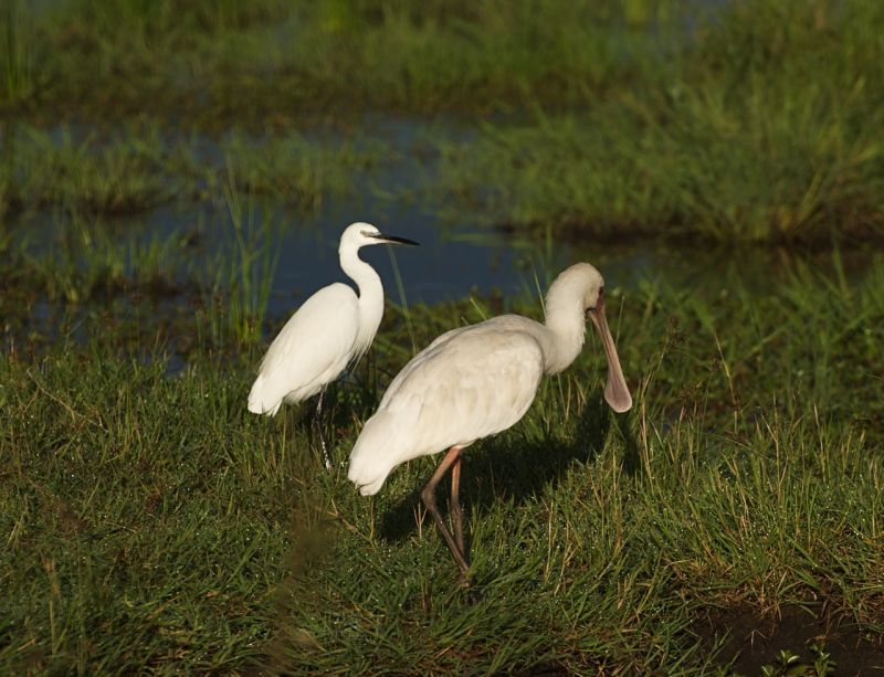 Spoonbill and an egret in the Masai Mara, Kenya